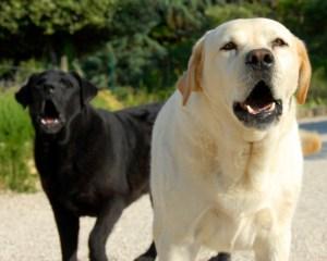Perros ladrando