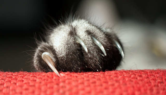 Cómo cortarle las uñas a un gato