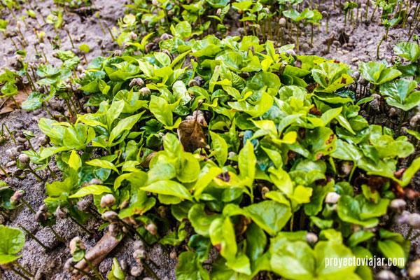 """De cada grano de café plantado, sale un """"fosforito"""", pequeña germinación con cabeza de café."""