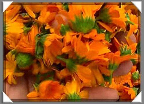 Заготовка цветков календулы