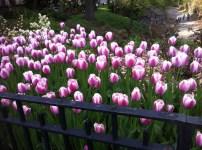 Tulips_ShelbyFultz