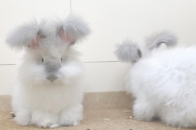 アンゴラウサギ
