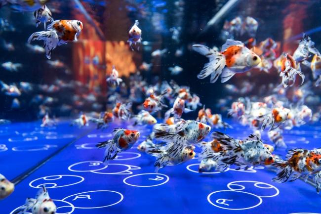 さまざまな金魚を鑑賞(イメージ)