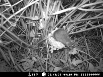 実験的に設置した人工巣にやってきたクマネズミ 喜界島にて。坂上舞氏撮影。
