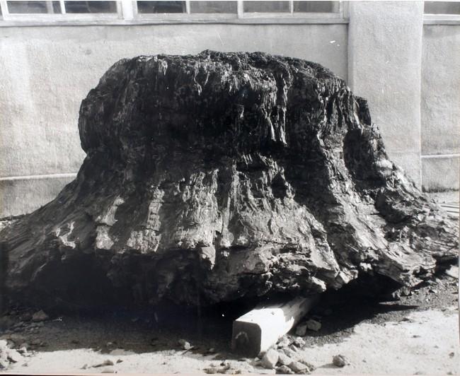 メタセコイア樹幹化石 写真提供:筑波大学生命環境系