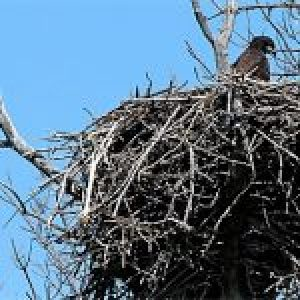 Bald Eagle Breeding Season