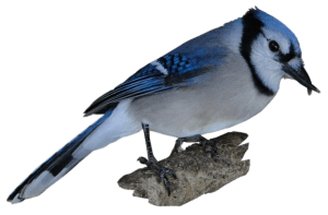 Bluejay with crossed beak piece