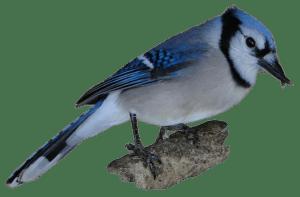 Bluejay with crossed beak piece
