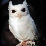 Symbolic Adoptions Luna the Screech Owl