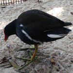 Symbolic Adoptions Maurice the Common Gallinule