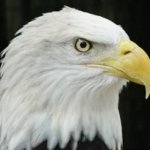 Symbolic Adoptions Captain Arthur the American Bald Eagle
