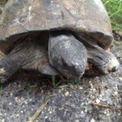 Symbolic Adoptions Legolas the Gopher Tortoise