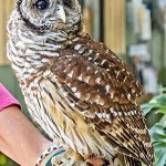 Symbolic Adoptions Orion the Barred Owl