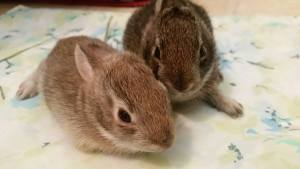 I Found a Rabbit baby bunnies