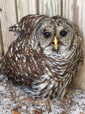 Barred owl recovers from fishing line injury Merry, the green heron