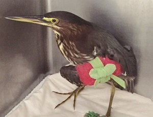 Merry, the green heron