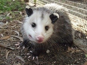 I Found an Opossum Opossum Ready for Release