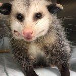 Symbolic Adoptions Blossom the Awesome Opossum