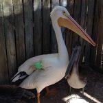 Symbolic Adoptions Big Mac American White Pelican