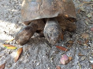 Legolas the Gopher Tortoise