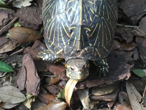 Major the Florida Box Turtle