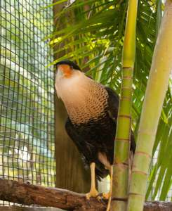 Ursula the Crested Caracara