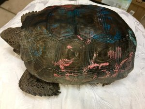 Please do not paint Gopher Tortoises