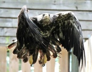 Bald eagle practices flying while recovering from an injury
