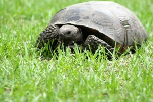 Grazing gopher tortoise