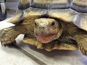 """A gopher tortoise """"smile"""" in her strawberry lipgloss as she gets ready to go home"""