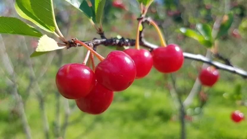 u-pick вишня