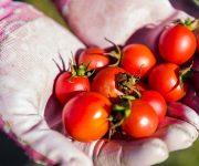 climate-change-veggie-garden-tomatoes