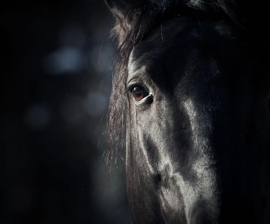 horses-detail-of-black-horse