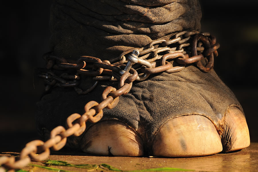 circus-elephants-elephant-foot-in-chains