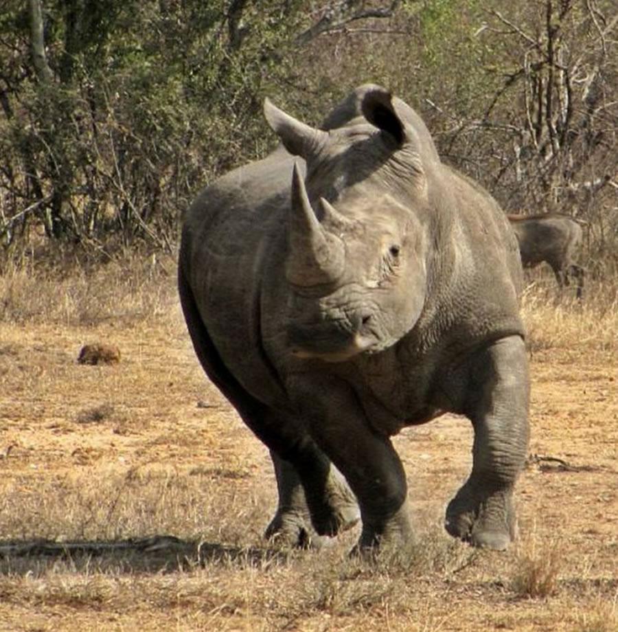 Black Mambas Women Anti-poaching Unit - charging-rhino