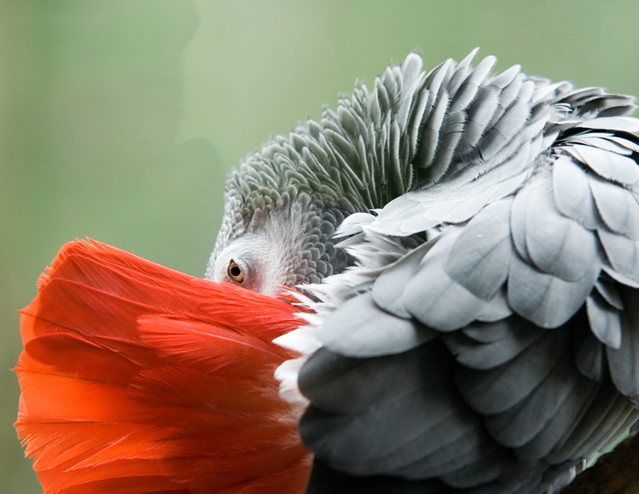 African Grey - african-grey-head-profile-detail-with-red-tail