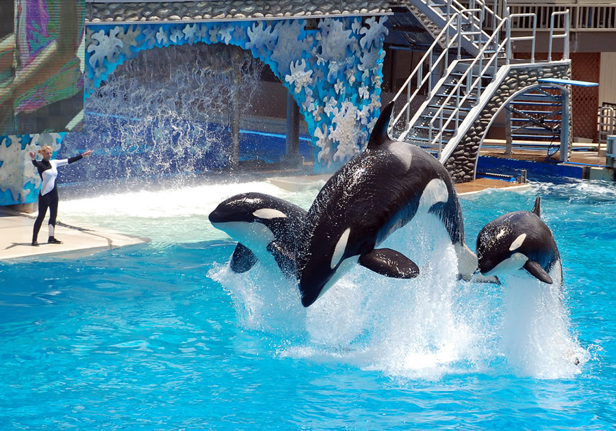 Orcas and Dophins - seaworld-orca-performance