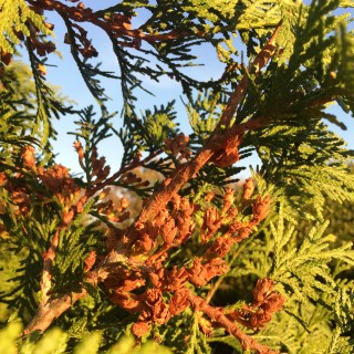 Fall Conifer Cones on Green Giants
