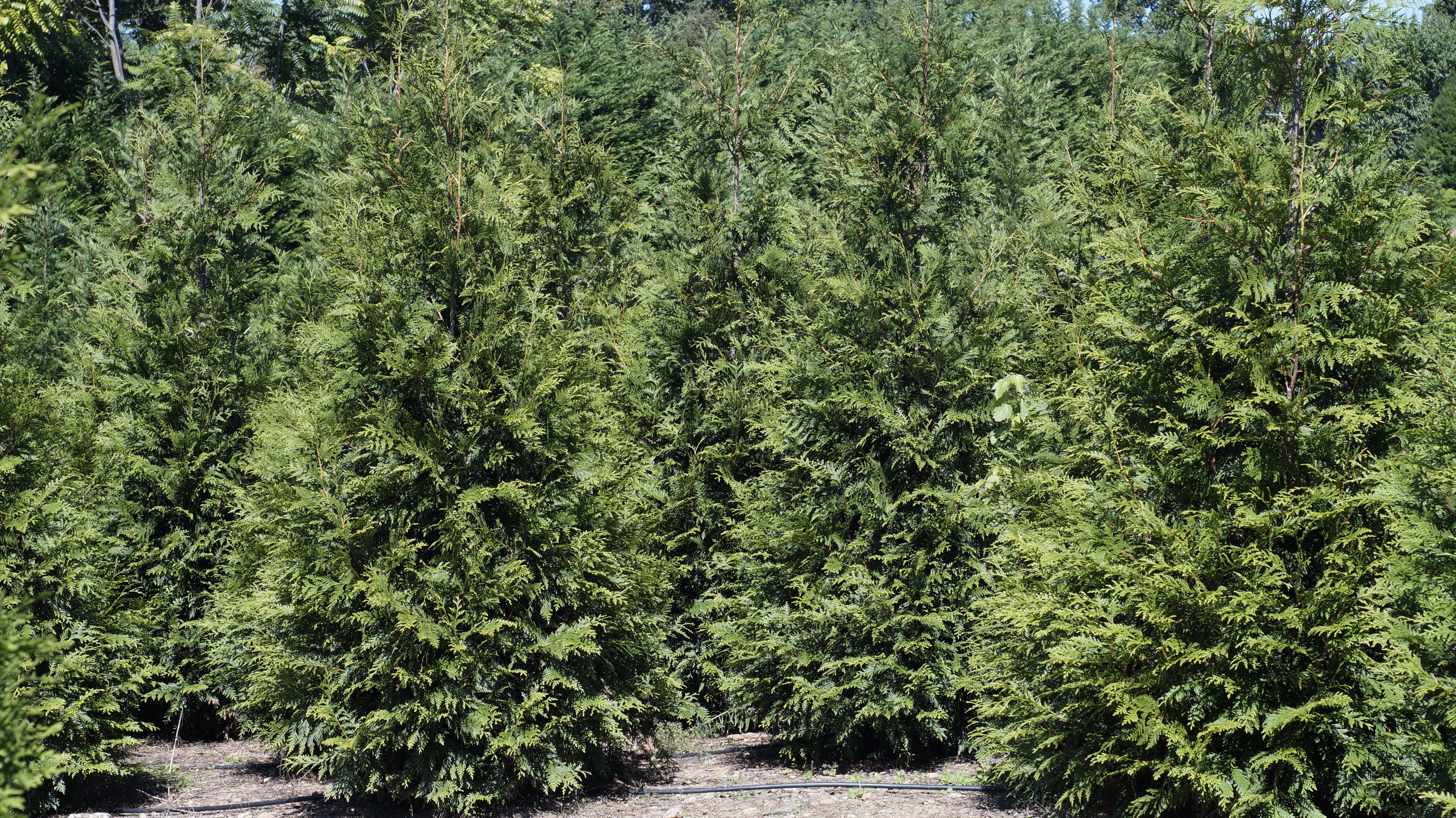 Green Giant Arborvitae Trees ready for your living fence installation