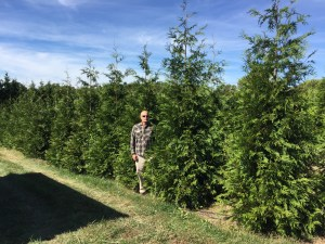 Green Giant Arborvitae Trees Growing at the farm