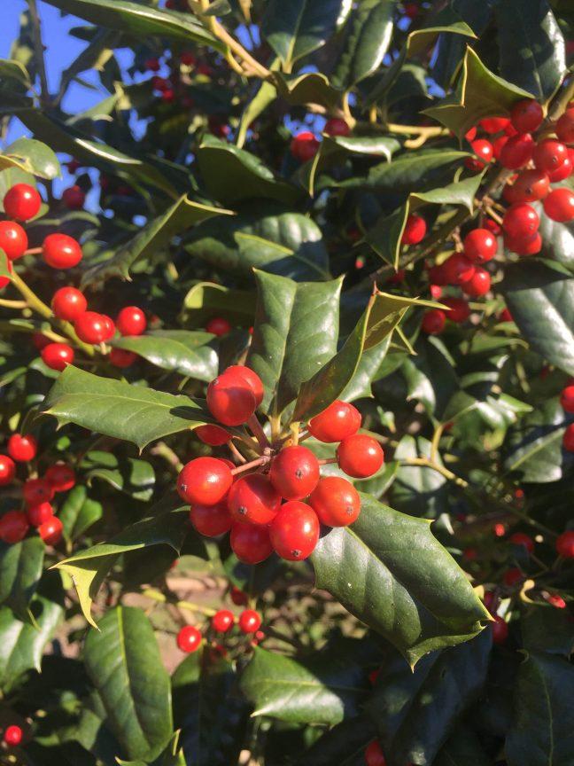 Nellie Stevens Holly Berries