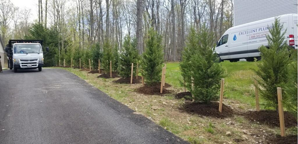 Leyland Cypress Evergreen Trees
