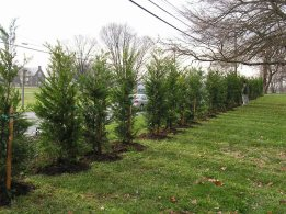 Finished Leyland Cypress Installation