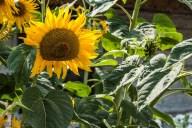 słonecznik wśród zieleni
