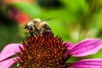pszczoła na czerwonym kwiecie