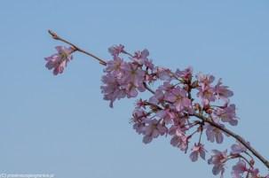 kwitnąca wiśnia w legolandzie w billund