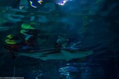 rekin w legolandzie