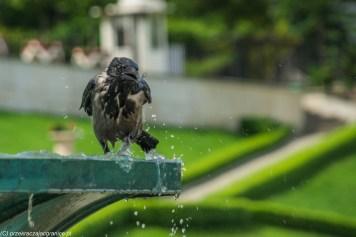 wrona kąpiąca się w fontannie