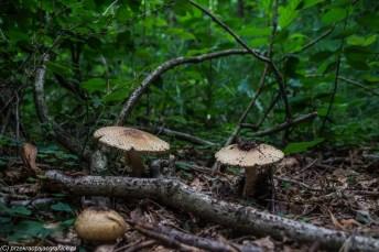las grzyby natura