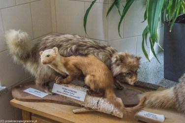zwierzęta wypchane jenot kuna muzeum wigier